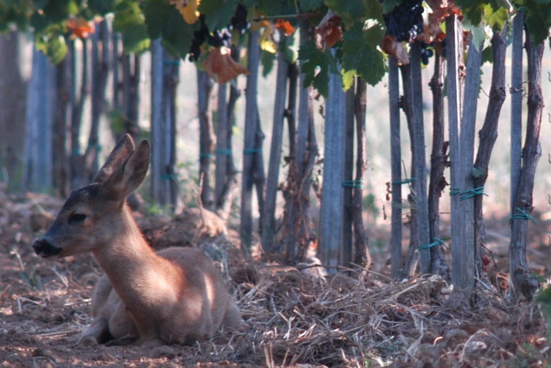 fawn-vineyards