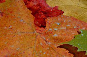 foglie-vigna-autunno