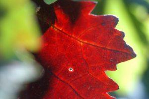 foglie-vite