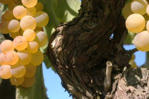 grappoli-uva