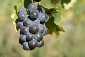 grappolo-uva-nera