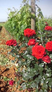 rose-vigna