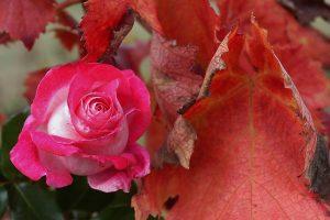 rose-vigne