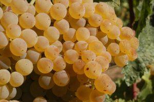 uva-trebbiano