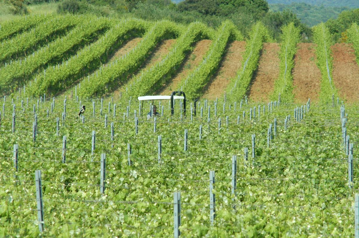 vineyards_summer